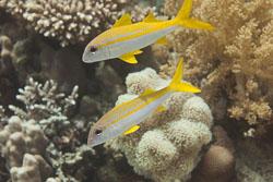BD-150223-Sharm-6390-Mulloidichthys-vanicolensis-(Valenciennes.-1831)-[Yellowfin-goatfish].jpg